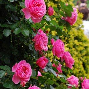 розы киров