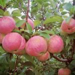 Яблоко Желанное