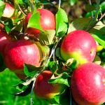 Плодовые-ягодные растения